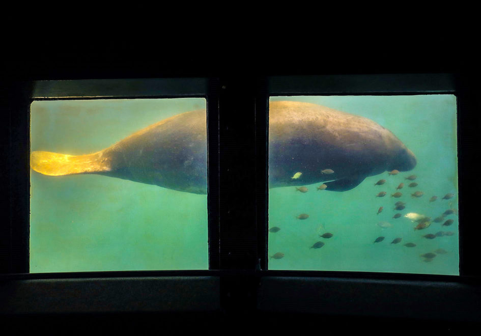 Manatee under glass-edit