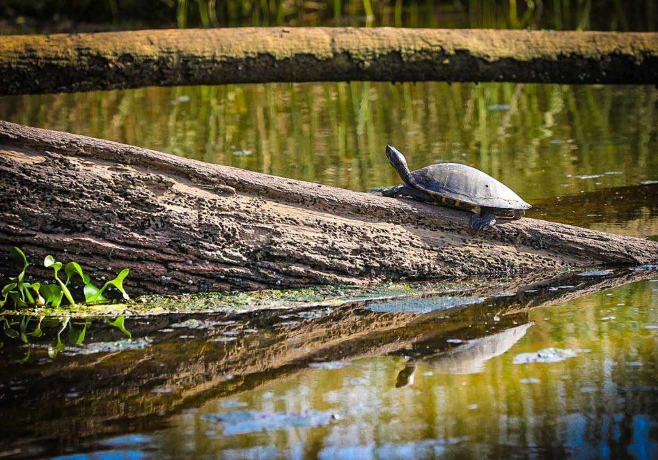 Turtle tanning-edit
