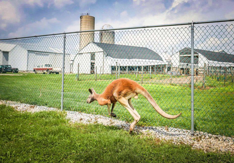 Kangaroo-edit